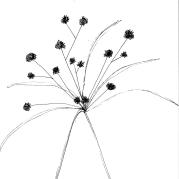 cyperus_eragrostis_1