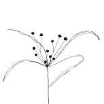 cyperus_eragrostis_2