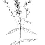 lythrum_salicaria_1